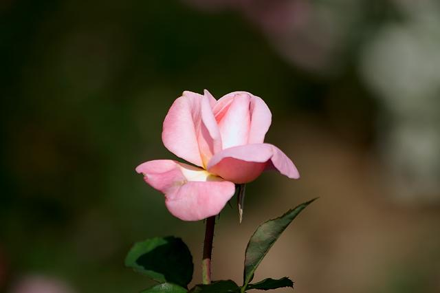 靫公園の秋バラ7