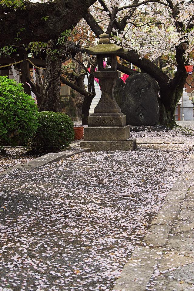散り染めの桜