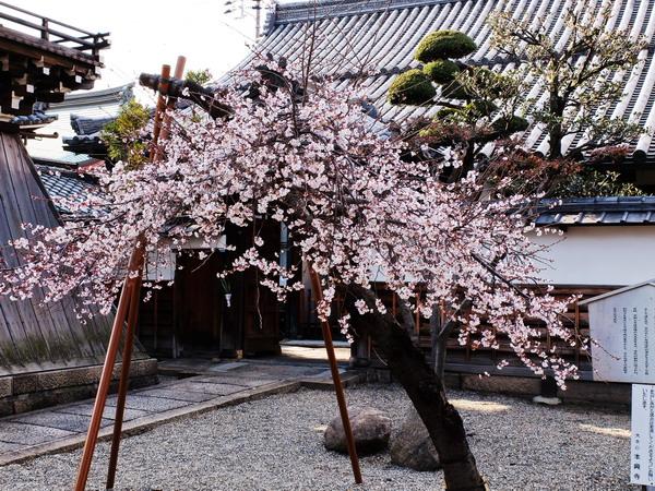 尼崎・本興寺の寒桜