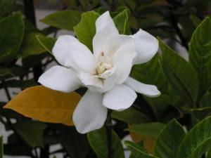 くちなしの~♪白い花~♪_1