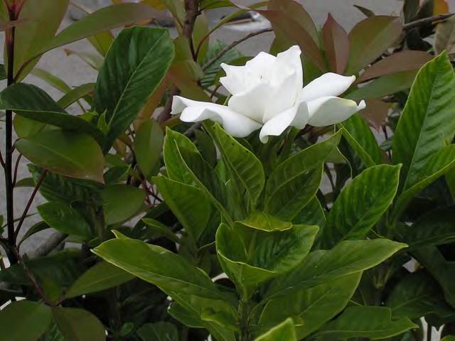 くちなしの~♪白い花~♪_2