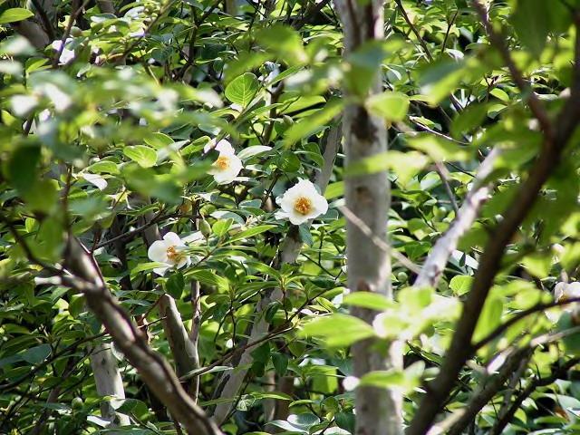 沙羅双樹2_2