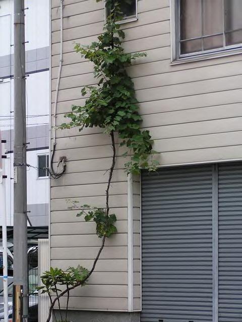 都会の葡萄_3