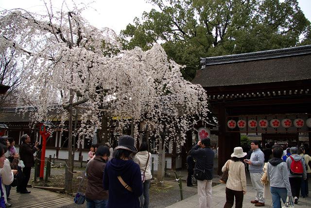 平野神社の桜 (1)_2