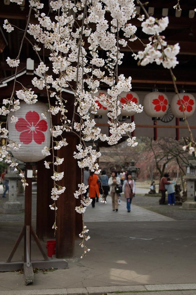 平野神社の桜 (1)_1