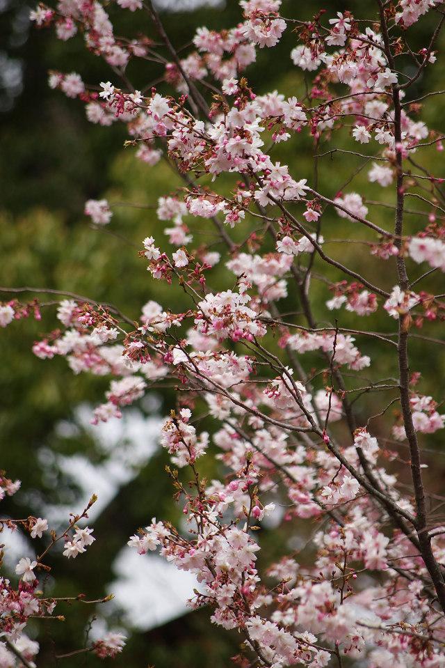 平野神社の桜 (2)_2