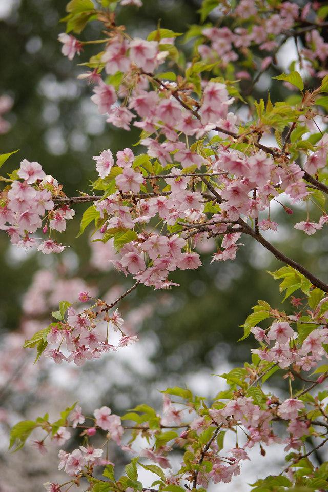 平野神社の桜 (2)_1