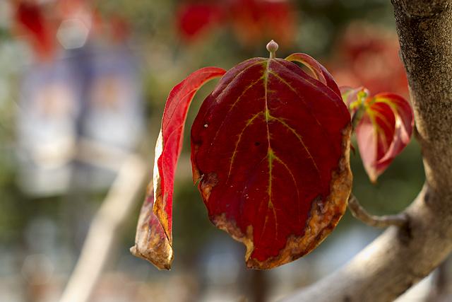 紅葉、始まる。