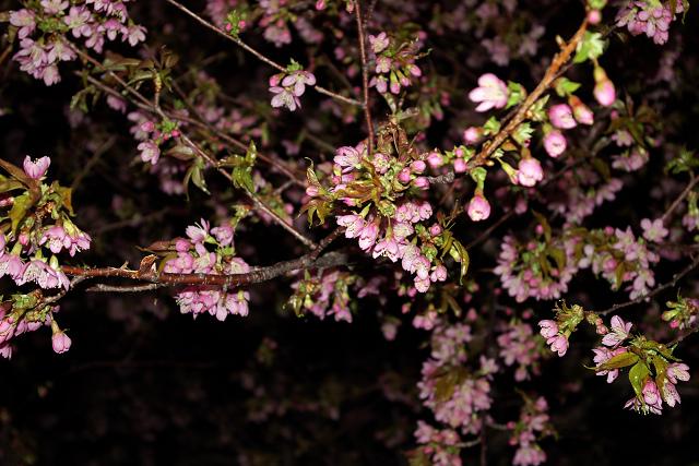 夜桜・一番
