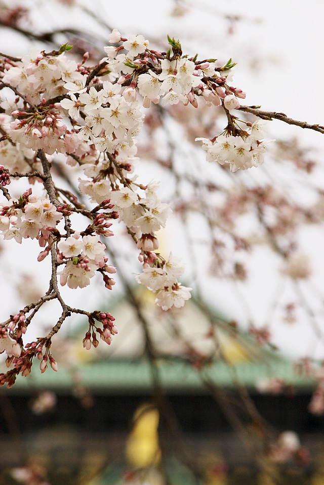 大阪城の桜