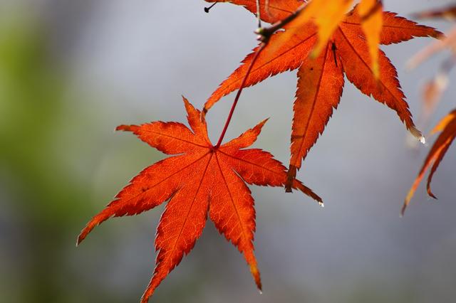 なごりの紅葉