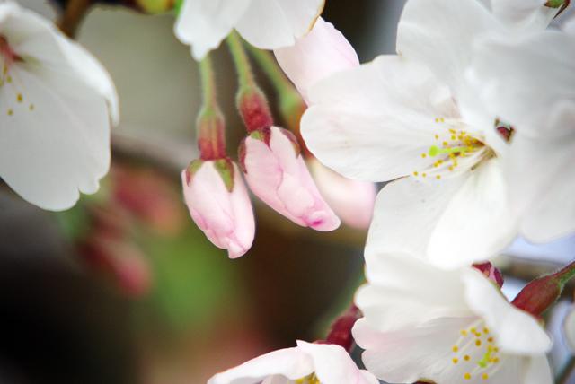 サクラが咲いた。