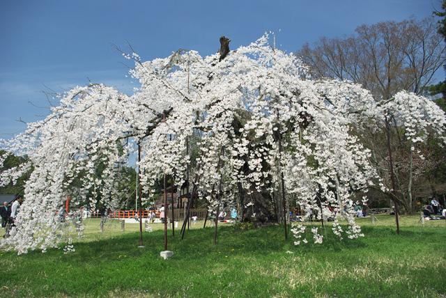 上賀茂神社の桜_2