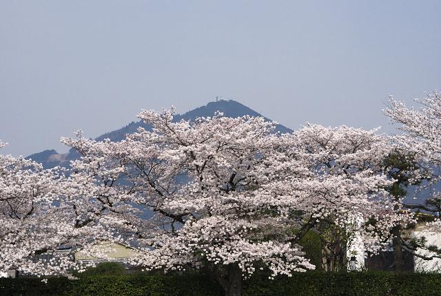 鴨川河川敷の桜_2