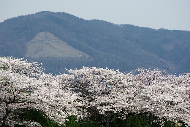 鴨川河川敷の桜_3