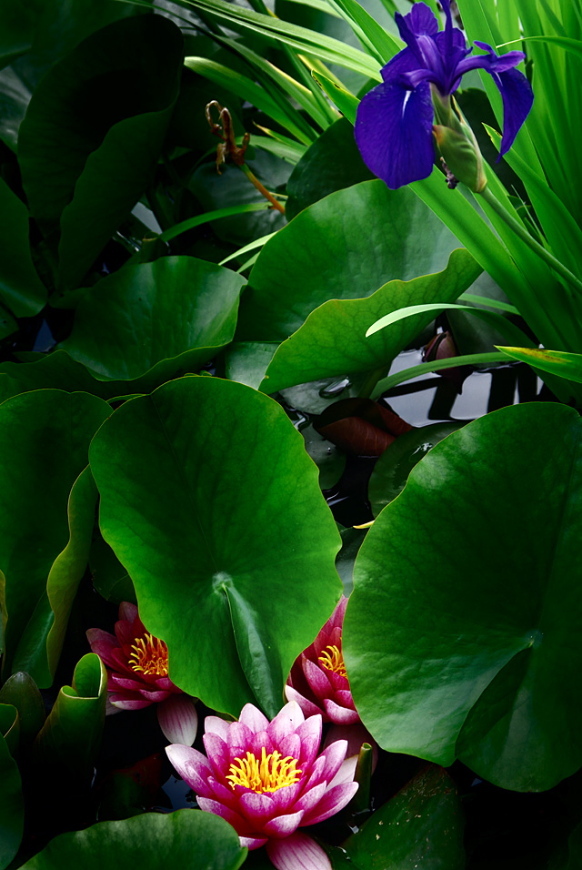 外堀の睡蓮