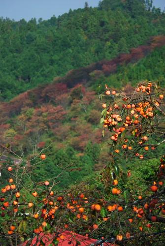 秋の実りと桜の紅葉