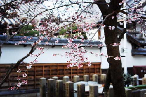 本興寺の冬桜