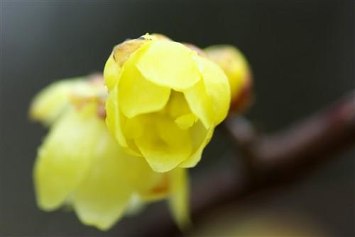 長居植物園の冬の花たち_3