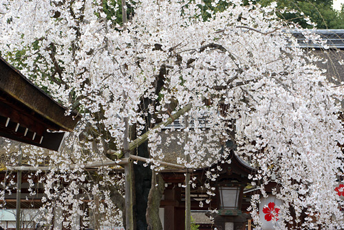 桜の京都 2009 #1
