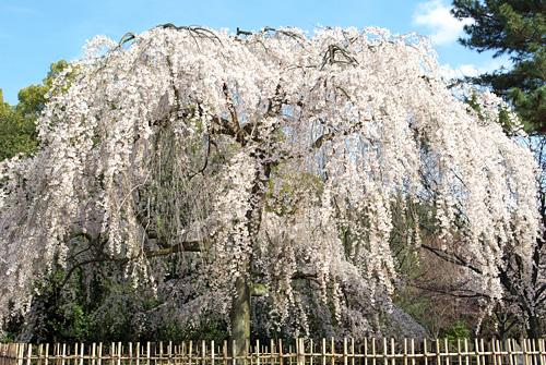 桜の京都 2009 #3
