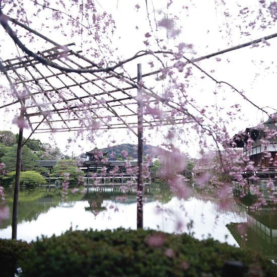 なごりの桜_1