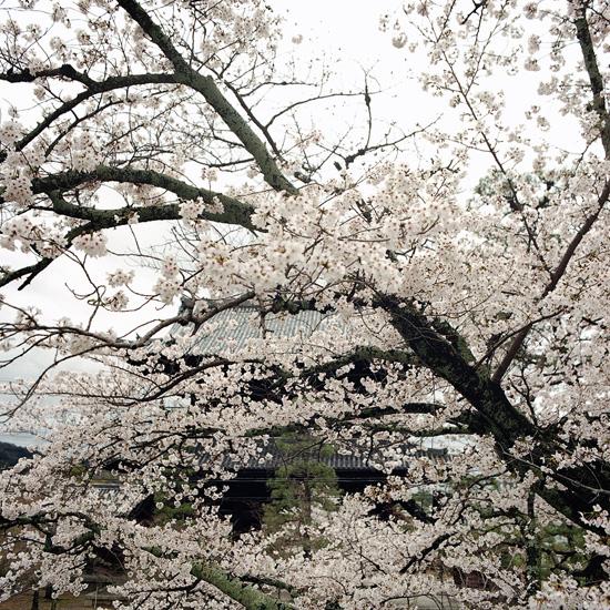 なごりの桜_3