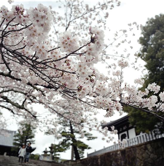 なごりの桜_4