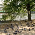 鳩の熱中症対策?