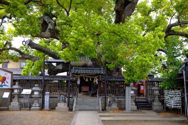 三島神社「薫蓋樟」(3)