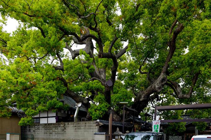 三島神社「薫蓋樟」(4)